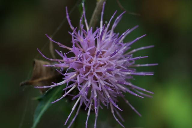 アザミの花-04