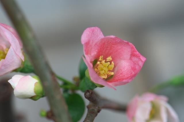木瓜の花-02