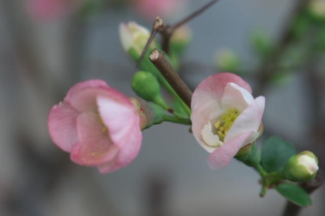 木瓜の花-01