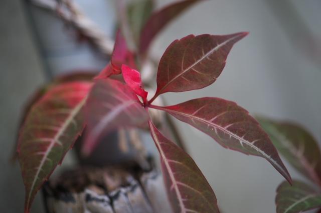 ヘンリーヅタの紅葉-01