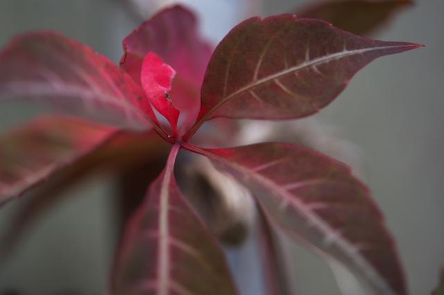 ヘンリーヅタの紅葉-02