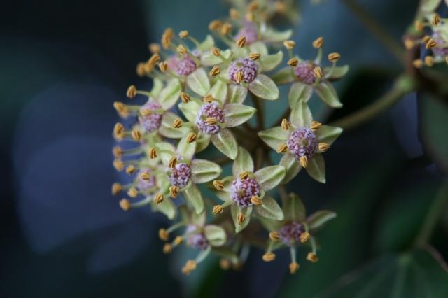 キヅタの花-04