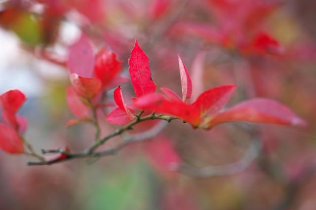 ブルーベリーの紅葉-01
