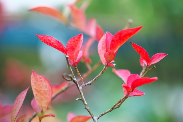 ブルーベリーの紅葉-02
