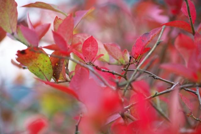 ブルーベリーの紅葉-03