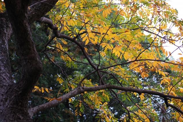 ムクロジの黄葉-01