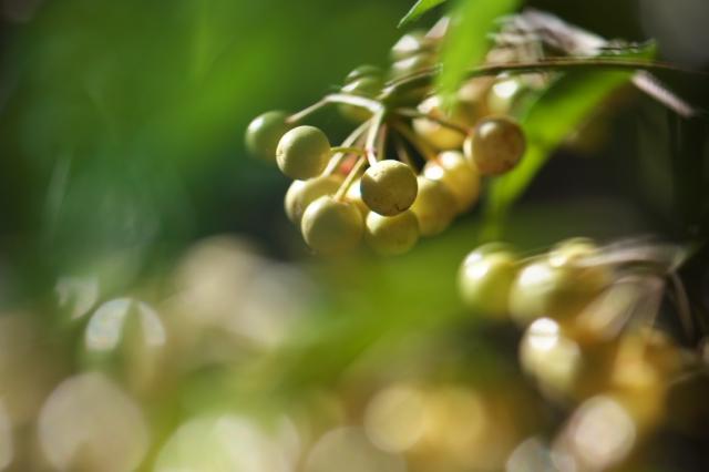 白い実の万両-01