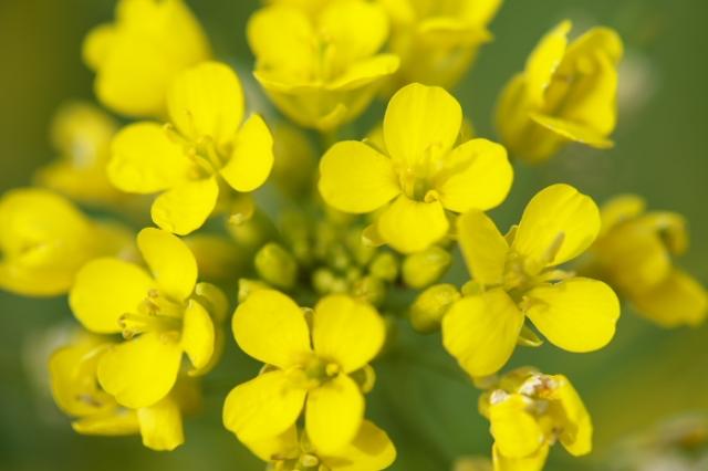 菜の花-02