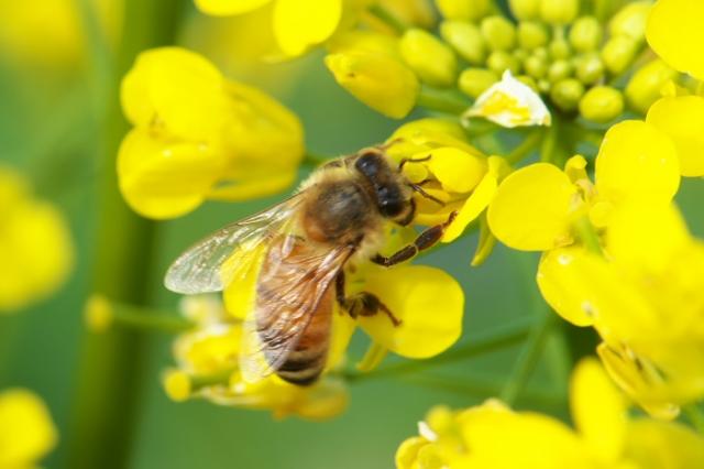 菜の花とミツバチ-01