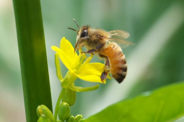 菜の花とミツバチ-02