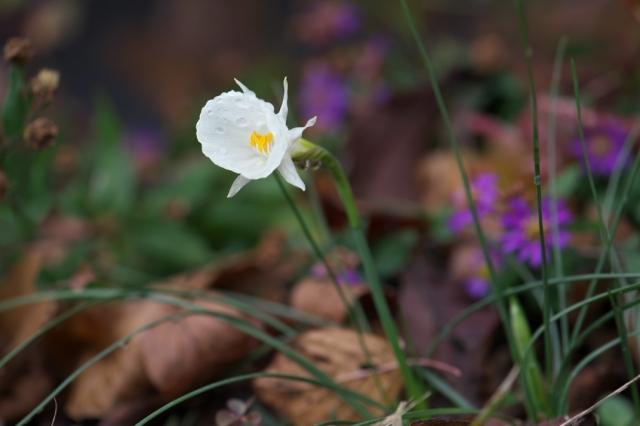 Narcissus cantabricus var.foliosus-01
