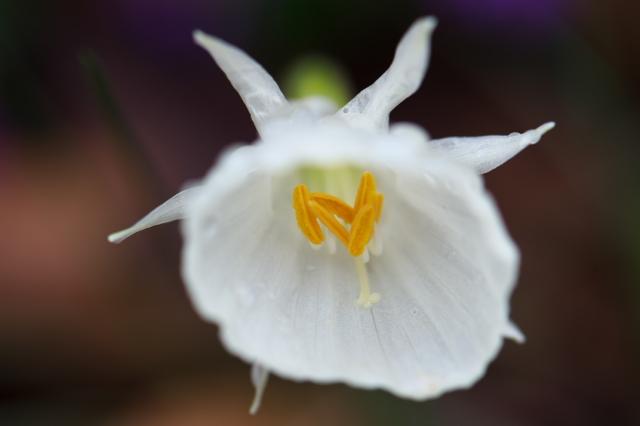 Narcissus cantabricus var.foliosus-02