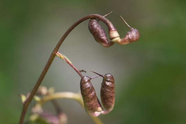 レンゲショウマの種鞘-03