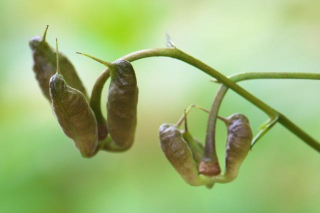レンゲショウマの種鞘-01