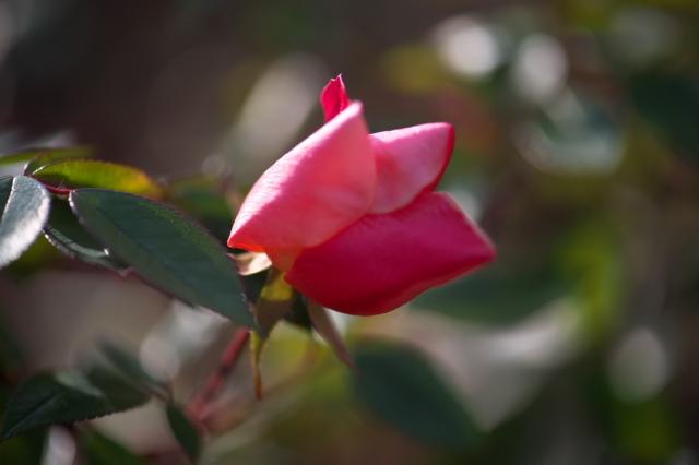 Rosa.chinensis Mutabilis-04