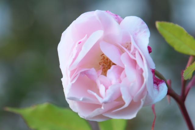 Rosa odorata-01