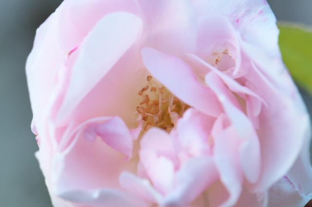 Rosa odorata-02
