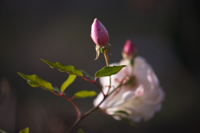 Rosa.odorata-03