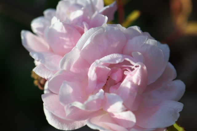 Rosa.odorata-02