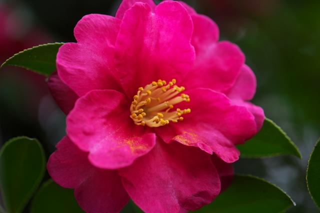 山茶花の花-01