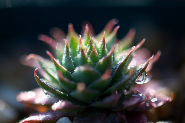 Sempervivum Opalina
