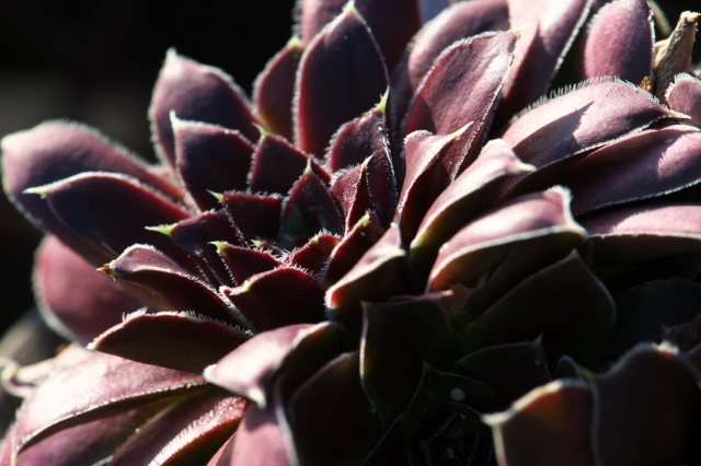 Sempervivum Orion-03