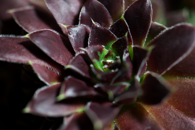 Sempervivum Orion-04