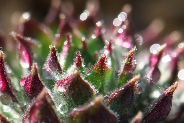Sempervivum Pacific Red Tide-03
