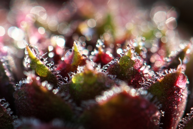 Sempervivum Red Chief-01