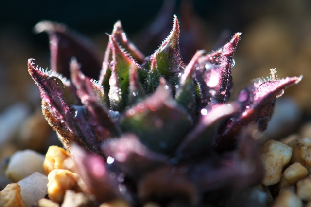 Sempervivum Rotkopf-01