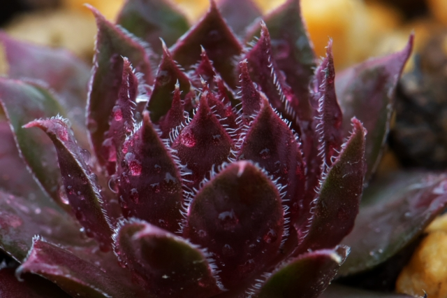 Sempervivum Royal Rubby-02