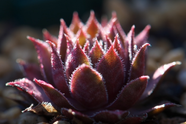 Sempervivum Royal Rubby