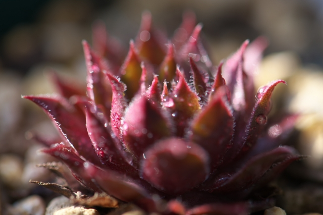 Sempervivum Royal Rubby-01