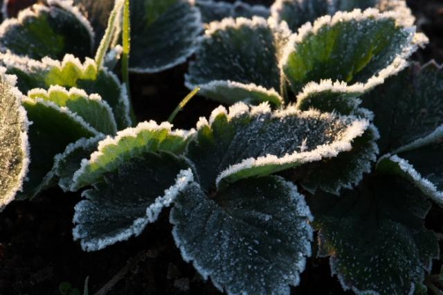 イチゴの葉についた霜-02