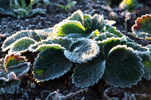 イチゴの葉についた霜-01