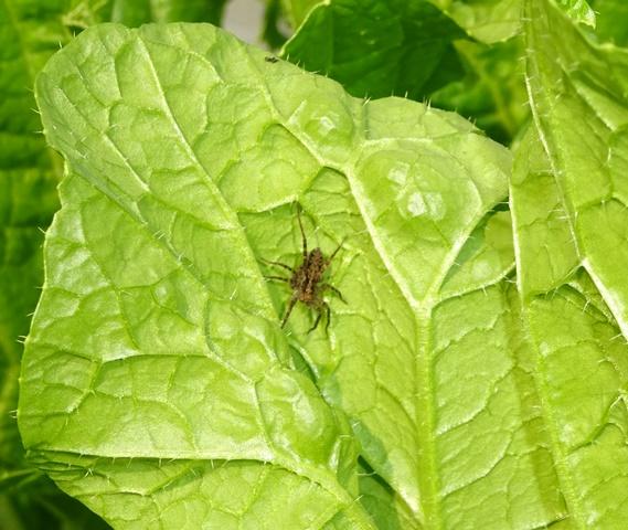 虫を食べてくれる蜘蛛