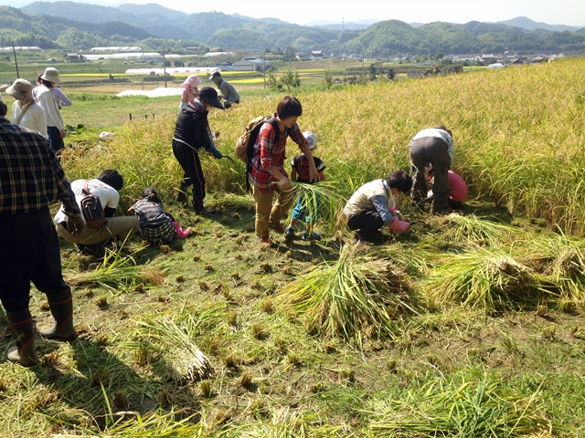 サウス大阪で芋掘りと稲刈り@10月3日 定期的に農作業やってます(^^♪