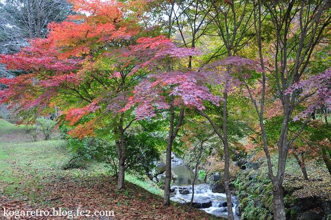 出流ふれあいの森の冬桜5