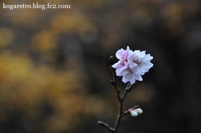 出流ふれあいの森の冬桜3