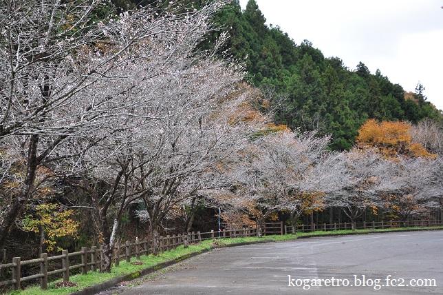 出流ふれあいの森の冬桜