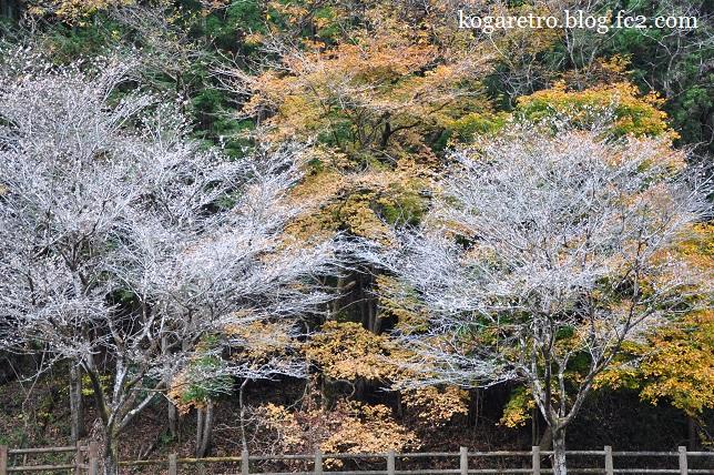 出流ふれあいの森の冬桜4