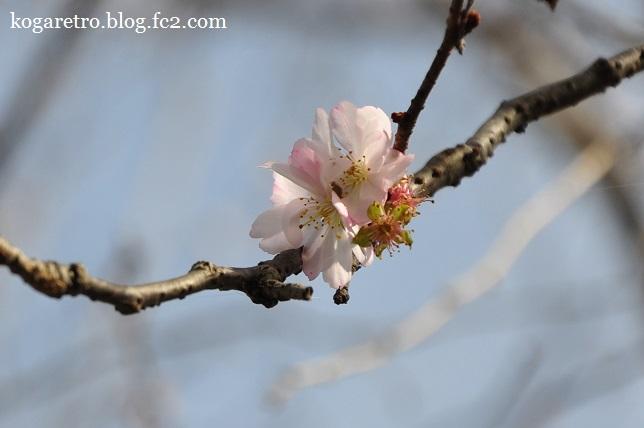 満福寺の冬桜4