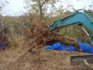 木の根っこと格闘