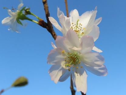 10/28 十月桜