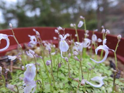 11/29 ウサギゴケ (Utricularia sandersonii)