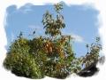 お向かいの渋柿