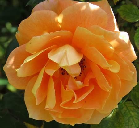 a京成薔薇とスカイツリー 193