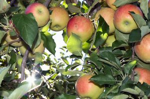 01 300 apples