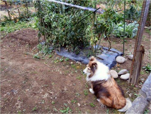 05 500 20151022 Only tomatos LL-菜園 Erie