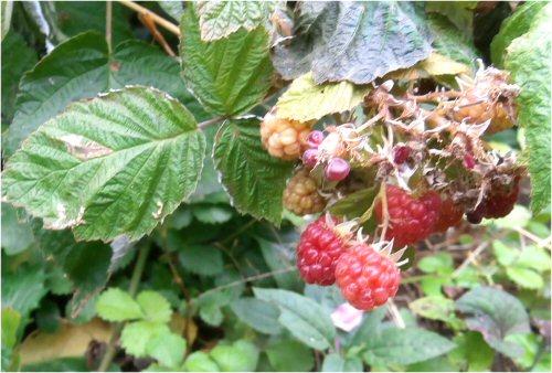 06 500 20151022 Raspberry LL-菜園
